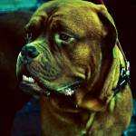 """dogue de bordeaux"" by Alecs"