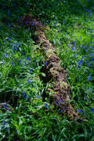 Fallen on Bluebells