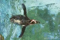 icy swim / humboldt penguin