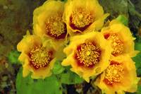 Eastern Prickly Pear Cactus - Oil
