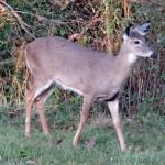 """""""Deer 07"""" by paintballerghost"""