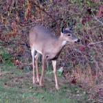 """""""Deer 09"""" by paintballerghost"""