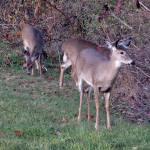 """""""Deer 16"""" by paintballerghost"""