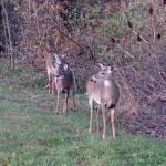 """""""Deer 17"""" by paintballerghost"""
