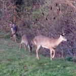 """""""Deer 18"""" by paintballerghost"""
