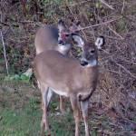 """""""Deer 21"""" by paintballerghost"""