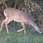 """""""Deer 23"""" by paintballerghost"""