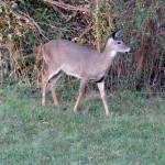 """""""Deer 25"""" by paintballerghost"""
