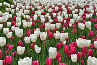 Brookside Gardens tulips