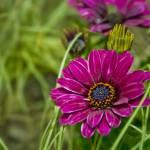 """Osteospermum Cape Daisy"" by InspiraImage"