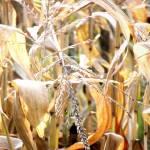 """Corn Stocks"" by NAR90"