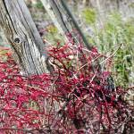 """""""Red Vine Fence"""" by NAR90"""