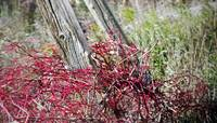 Red Vine Fence
