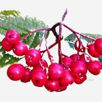 """Tree Berries"" by patriciaschnepf"