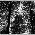 """Silhouette of pine trees - black and white"" by hideakisakurai"