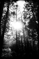 Light through trees - black and white