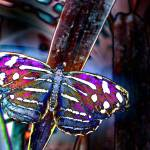 """mexican blue wing"" by naturefantasy"