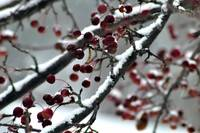 Wintry Crab Apples