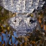 """American Alligator"" by KenThomas"