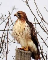 Majestic red-tailed hawk
