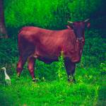 """""""The Red Cow"""" by PhotoOvr"""