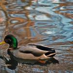 """""""Duck and Ripples"""" by Sexysmooth34"""