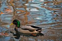Duck and Ripples