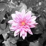 """""""Pink Dahlia"""" by Art_by_DRIVEN"""