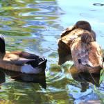 """""""Gestural Ducks"""" by ralphnelsen"""