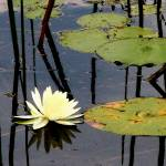 """""""White Lotus/Water Lily 2"""" by ShaneWells"""