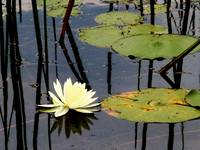 White Lotus/Water Lily 2
