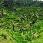 """Bali Rice Terraces"" by flyingpanther"