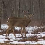 """""""Deer Friends Posing Winter"""" by campsanity"""