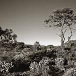 """Slash Pine"" by SkipNall"