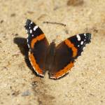 """""""Butterfly wings flapping"""" by campsanity"""