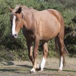 """Bay Horse"" by DaveScott"