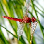 """Red Dragonfly"" by eduardoventura"