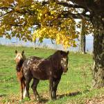 """Horses in the shade of an autumn tree"" by RobertGosselin"