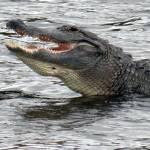 """""""Happy Crocodile"""" by Acedarter"""