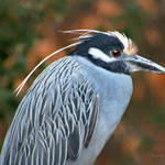 """yellow croowned night heron 1"" by nancielaing"