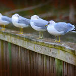 """4 gulls"" by nancielaing"