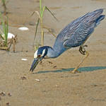 """yellow crowned night heron crabing"" by nancielaing"