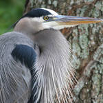 """great blue heron close"" by nancielaing"