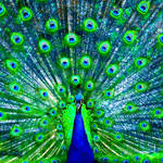 """Peacock"" by nancielaing"