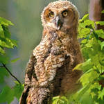 """Baby Great Horned Owl"" by nancielaing"