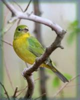 Painted Bunting female painted