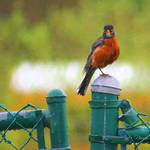 """Robin on fence"" by nancielaing"
