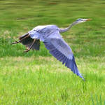 """Great Blue Heron in flight"" by nancielaing"