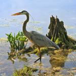 """great blue heron painted 2"" by nancielaing"