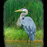 """great blue heron painted 3"" by nancielaing"